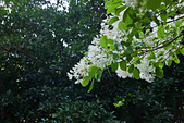 花。四月雪流蘇:IMG_4070.jpg