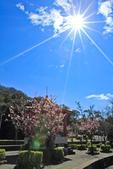 櫻。屈尺公園:IMG_7522.jpg