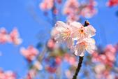 櫻。屈尺公園:IMG_7534.jpg