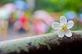 花。五月雪油桐花:IMG_0389.jpg