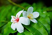 花。五月雪油桐花:IMG_0446.jpg
