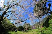 櫻。陽明山花季:IMG_14868.jpg
