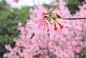 昭和櫻。:IMG_7850.jpg