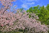 櫻。陽明山花季:IMG_14875.jpg