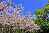 櫻。陽明山花季:IMG_14878.jpg