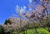 櫻。陽明山花季:IMG_14879.jpg