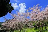 櫻。陽明山花季:IMG_14880.jpg