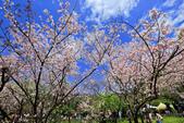 櫻。陽明山花季:IMG_14883.jpg