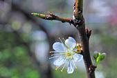 春。李花:IMG_7537.jpg