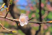 櫻。屈尺公園:IMG_7539.jpg