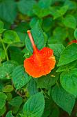 花。鳳凰木:IMG_4510.jpg