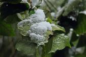 雪。陽明山:IMG_9336.jpg