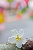 花。五月雪油桐花:IMG_0391.jpg