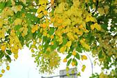 花。黃金雨。阿勃勒:IMG_5834.jpg