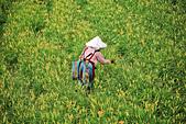 六十石山の金針花季。:IMG_10509.jpg