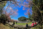 櫻。陽明山花季:IMG_14853.jpg