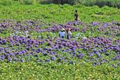 竹子湖。繡球花:IMG_13683.jpg