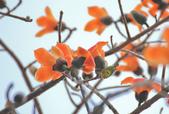 木棉花。:IMG_8717.jpg