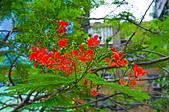 花。鳳凰木:IMG_4515.jpg