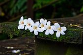 花。五月雪油桐花:IMG_0429.jpg