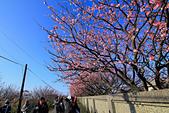 平菁街42巷。寒櫻綻放:IMG_6937.jpg