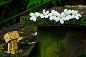 花。五月雪油桐花:IMG_0449.jpg