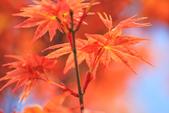 槭紅。:IMG_8701.jpg