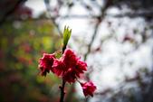 九族。櫻花季:IMG_4652.jpg