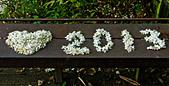 花。五月雪油桐花:IMG_0466.jpg