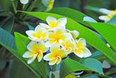 雞蛋花。:IMG_9473.jpg