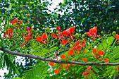 花。鳳凰木:IMG_4516.jpg