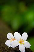 花。五月雪油桐花:IMG_0395.jpg