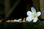 花。五月雪油桐花:IMG_0480.jpg