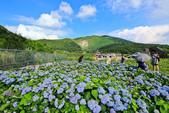 竹子湖。繡球花:IMG_13666.jpg