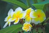 雞蛋花。:IMG_9472.jpg