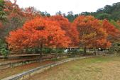 武陵。落羽松:IMG_11893.jpg