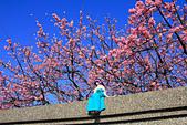 平菁街42巷。寒櫻綻放:IMG_6944.jpg