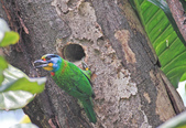 五色鳥。:IMG_10243.jpg