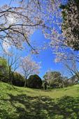 櫻。陽明山花季:IMG_0334.jpg