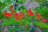 花。鳳凰木:IMG_4542.jpg