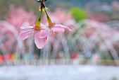 昭和櫻。:IMG_7852.jpg