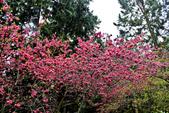 九族。櫻花季:IMG_4654.jpg