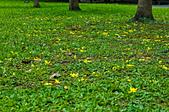 花。黃金雨。阿勃勒:IMG_4442.jpg