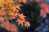 槭紅。:IMG_8704.jpg