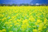 花東縱谷。油菜花:IMG_12438-4.jpg