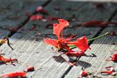 鳳凰花開。:IMG_9040.jpg