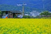 花東縱谷。油菜花:IMG_12439-5.jpg