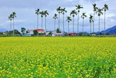 花東縱谷。油菜花:IMG_12440-6.jpg