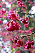 九族。櫻花季:IMG_4655.jpg
