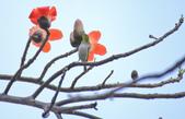 木棉花。:IMG_8722.jpg